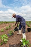 CABINDA/ANGOLA - 9 juin 2010 - chou d'arrosage africain d'agriculteur plantant, Cabinda l'angola Image stock