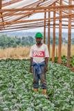 CABINDA/ANGOLA - 09JUN2010 -一位农夫的画象自在圆白菜种植园中间的一间温室 图库摄影