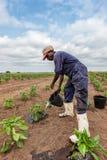 CABINDA/ANGOLA - 9. Juni 2010 - afrikanischer pflanzender Landwirtbewässerungskohl, Cabinda angola stockbild