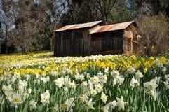 Cabine bij de Heuvel Californië van de Gele narcis Royalty-vrije Stock Afbeeldingen