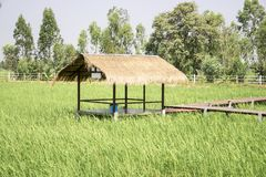 Cabins are planted in the middle of rice fields. royalty free stock photo