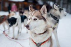 Cablaggio con il husky fotografie stock libere da diritti