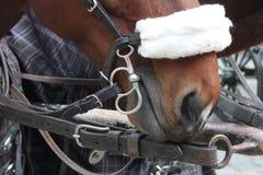 Cablaggio del cavallo a Vienna, Austria Immagine Stock