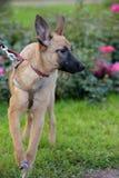 Cablaggio rosso del cucciolo Fotografia Stock Libera da Diritti