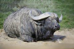 Cabo africano Buffaloe imagen de archivo