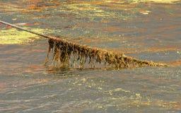 Cabo da alga Imagens de Stock