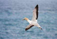 Cabo Gannet imagem de stock royalty free
