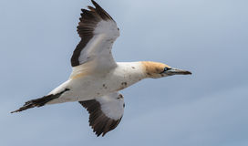 Cabo Gannet Fotos de Stock Royalty Free