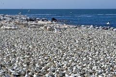 Cabo Gannets Imagen de archivo libre de regalías