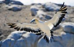 Cabo Gannets Imágenes de archivo libres de regalías