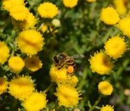 Cabo Honey Bee Imagenes de archivo