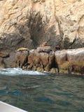 Cabo San Lucas Denni lwy zdjęcia stock