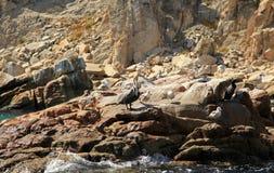 Cabo San Lucas. Mexico Pelican Stock Image