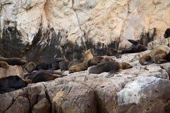 Cabo San Lucas. Mexico Sea Lions Colony Stock Photos