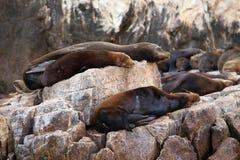 Cabo San Lucas. Mexico Sea Lions Colony Stock Image