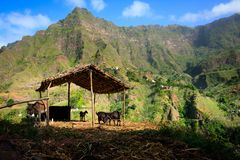 Breeding farm animals in mountains. Santo Antao Cabo Verde royalty free stock images