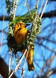 Cabo Weaver Bird South Africa Imagens de Stock