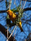 Cabo Weaver Bird South Africa Foto de Stock Royalty Free