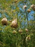 Cabo Weaver Nest Imagenes de archivo