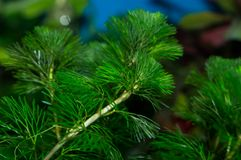 Green Cabomba caroliniana plant stems. Cabomba is an aquatic plant genus, one of two belonging to the family Cabombaceae. It has divided submerged leaves in the royalty free stock photo