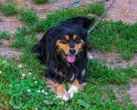 Cabot mignon de chien de village, sur la chaîne, gardes le yard photographie stock