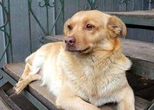 Cabot rouge de chien année de symbole du chien Images libres de droits
