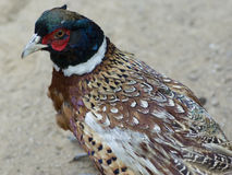 Cabot's tragopan Royalty Free Stock Images