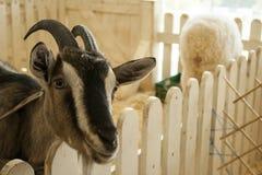 A cabra é de sorriso e de vista da cerca Imagens de Stock