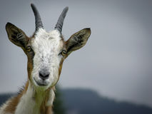 A cabra é pastada na montanha ao prado no verão Imagem de Stock Royalty Free