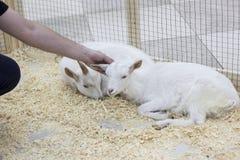 A cabra é riscada atrás da orelha foto de stock royalty free
