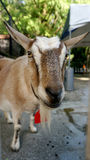 Cabra Foto de Stock