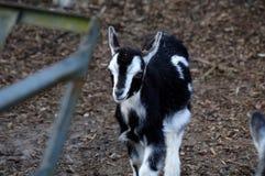 A cabra Fotografia de Stock