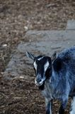 A cabra Foto de Stock Royalty Free