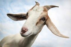 Cabra agradable y su vistazo de la coqueta Fotos de archivo