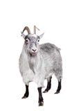 Cabra aislada en blanco Fotografía de archivo libre de regalías