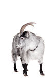 Cabra aislada en blanco Imagenes de archivo