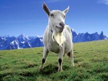 Cabra alpina fotografia de stock royalty free