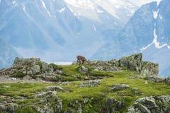 Cabra alpina en las rocas, soporte Bianco, soporte Blanc, montañas, Italia Fotografía de archivo