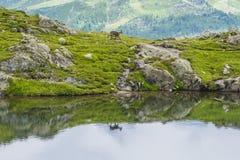 A cabra alpina na borda da montanha refletiu em um lago, montagem Blanc, cumes, Itália Fotografia de Stock