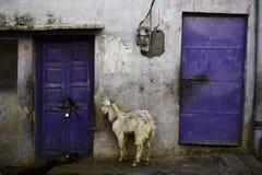 Cabra amarrada na rua Fotos de Stock