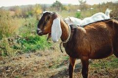 Cabra anglo-Nubian bonita com as grandes orelhas brancas imagens de stock royalty free
