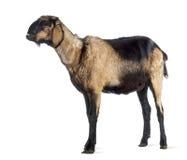 Cabra anglo-Nubian con un mandíbula torcido, mirando para arriba Fotografía de archivo libre de regalías