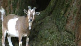 Cabra animal del mamífero en parque zoológico metrajes