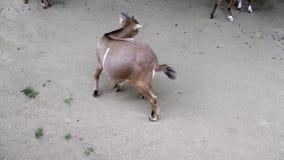 Cabra animal del mamífero en parque zoológico almacen de video