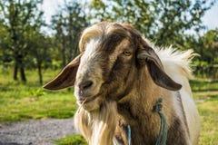 Cabra/animal en campo en hierba imagenes de archivo