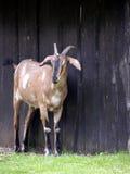 Cabra antes del granero Fotos de archivo libres de regalías