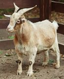 Cabra beige Fotografía de archivo libre de regalías