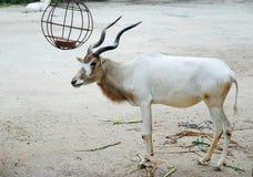 Cabra blanca Imagen de archivo