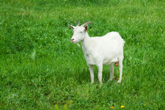 Cabra blanca Foto de archivo