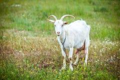 Cabra blanca Imagenes de archivo